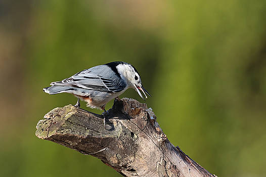 Nuthatch by Jim Nelson