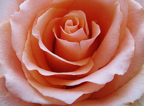 Rose Center by Carol Welsh