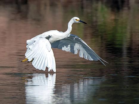 Tam Ryan - Snowy Egret in Flight