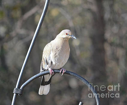 White Wing Dove by Ruth Housley