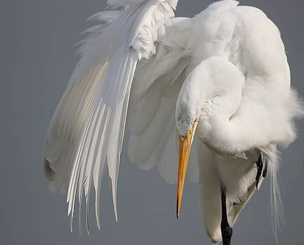 Paulette Thomas - Beautiful Great White Egret
