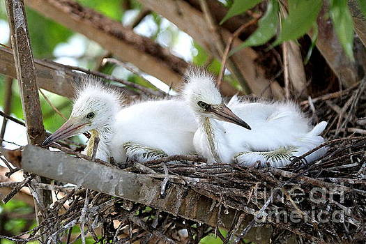 Snowy Egret Babies by Ken Keener