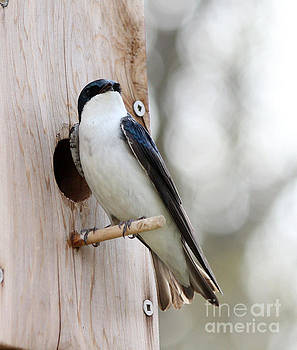 Tree swallow by Lori Tordsen