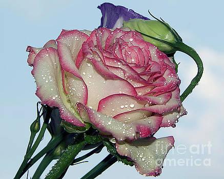 Nice Rose by Elvira Ladocki