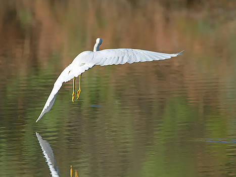 Tam Ryan - Snowy Egret
