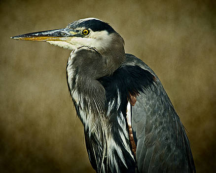 Great Blue Heron  by Rob Mclean