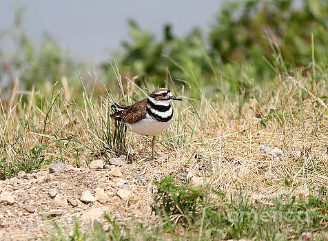 Killdeer by Lori Tordsen