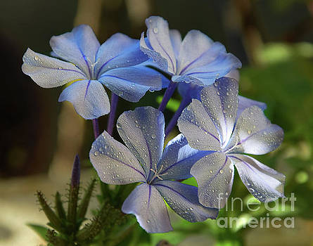 Blue Plumbago by Elvira Ladocki