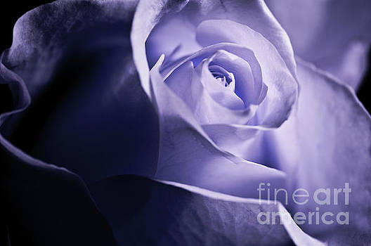 A Beautiful purple rose by Micah May