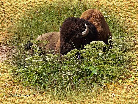 Kae Cheatham - A Bison at Rest
