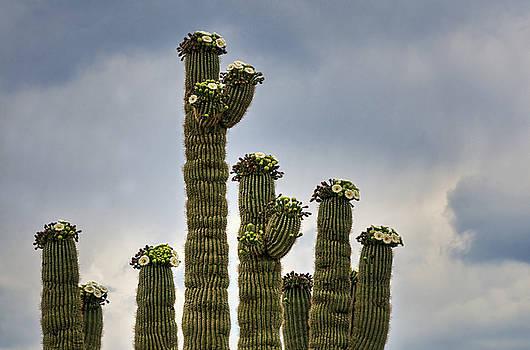 Saija  Lehtonen - A Saguaro All Dressed up in Blooms