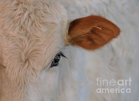 A Brahma Calf by Photo Captures by Jeffery