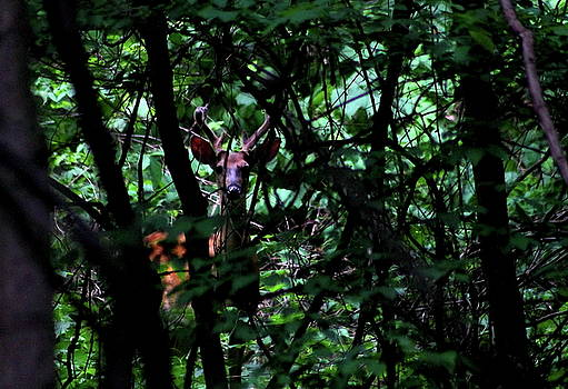 A Buck Peers from the Woods by Bruce Patrick Smith