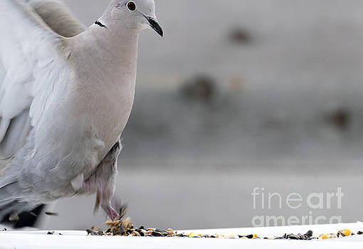 A Collared Dove Stretopelia decaocto by Odon Czintos