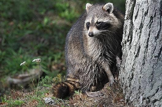 A Curious Raccoon by Lisa DiFruscio
