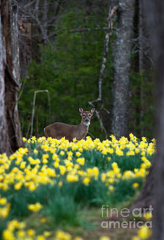 A Deer and Daffodils 4 by Douglas Stucky