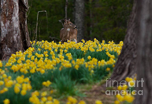 A Deer and Daffodils 5 by Douglas Stucky