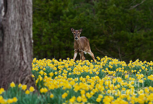 A Deer and Daffodils II by Douglas Stucky