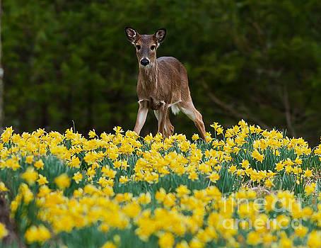 A Deer and Daffodils III by Douglas Stucky