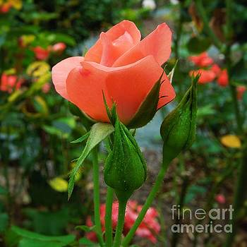 A Delicate Pink Rose by Chad and Stacey Hall