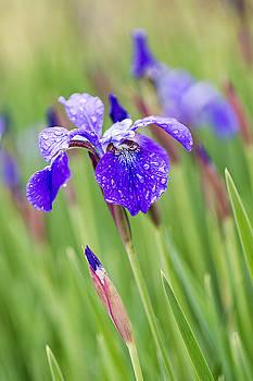 A Field of Iris by Jeff Abrahamson
