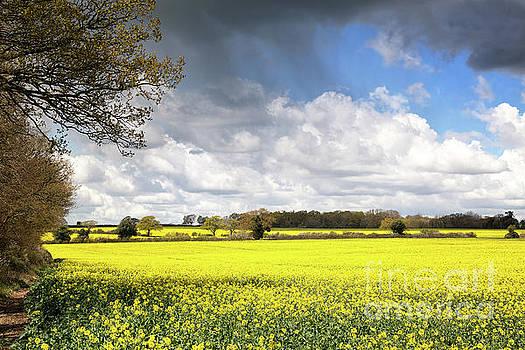 A field of rape flowers by Jane Rix