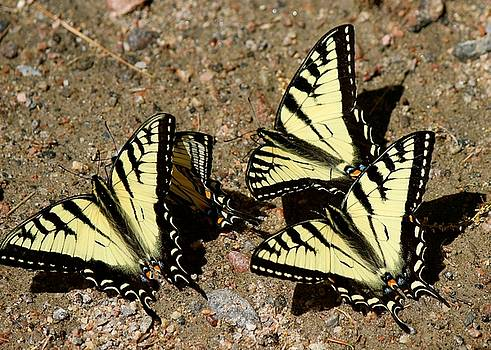 A Kaleidoscope of Swallowtails by David Pickett