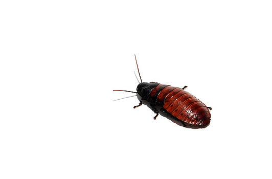 Michael Ledray - a madagascar hissing cockroac