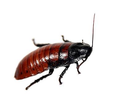 Michael Ledray - a madagascar hissing cockroach