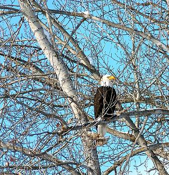 A Majestic Bald Eagle by Will Borden