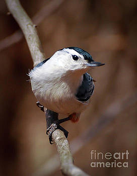 A Moment's Peace - White-breasted Nuthatch by Kerri Farley