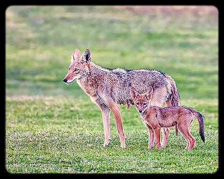 A Mother Coyote and Pup by David Wagner