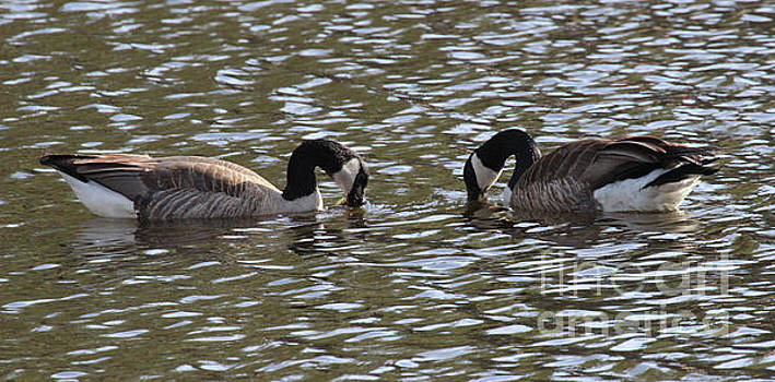 A pair of geese by Bill Gabbert