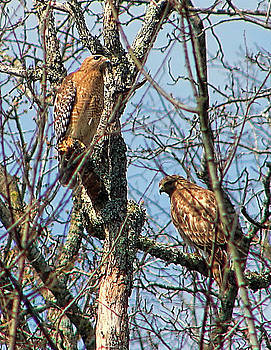 A Pair of Hawks by Rick Friedle