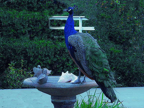 A Peacock on the Bird Bath by Jan Moore