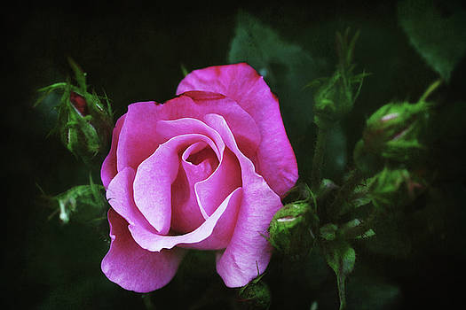 A Pink Rose by Trina Ansel