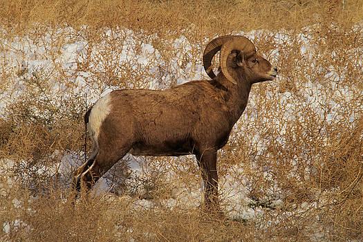 A proud Ram by Jeff Swan