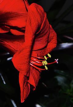 A Red Amaryllis by George Bostian