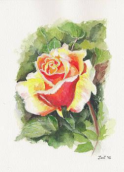 A rose in Benalla Botanic Gardens by Dai Wynn