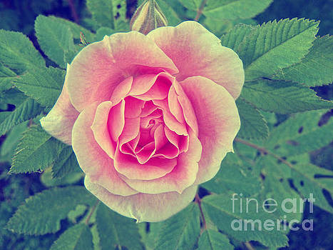 A Rose by Lori Frostad