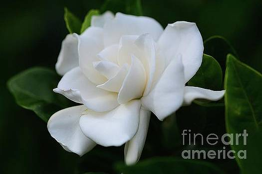 A Single Gardenia by Cindy Manero