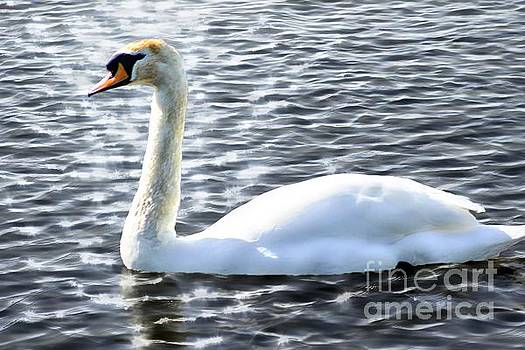A Swan Comes Calling by Andrew Allsopp