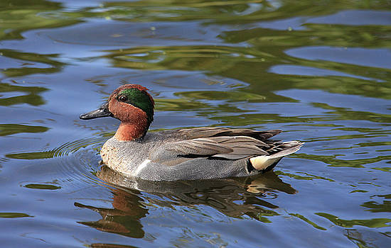 A Very Handsome Duck by John Rowe