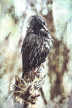 A Wet Weather Ruffled Starling by Anne Macdonald