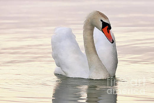 A white swan on the lake by Odon Czintos