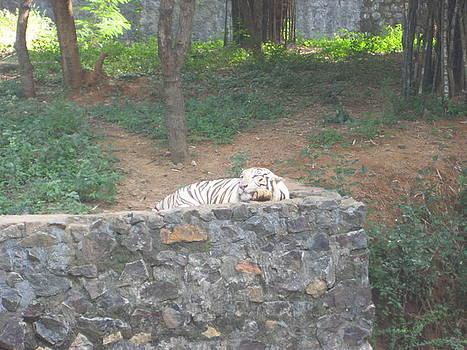 A White Tiger Sleeping by Siddarth Rai
