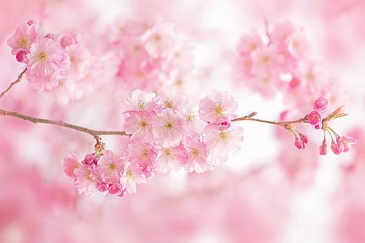 Accolade Cherry Blossom by Jacky Parker