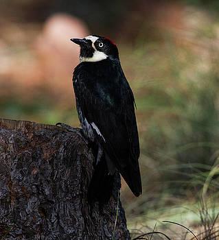 Acorn Woodpecker on a stump by Ruth Jolly