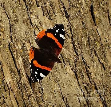 Admiral  Butterfly by J L Zarek