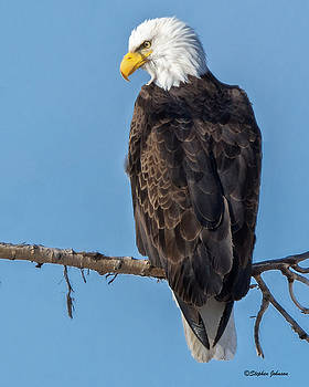 Adult Bald Eagle on Branch by Stephen Johnson
